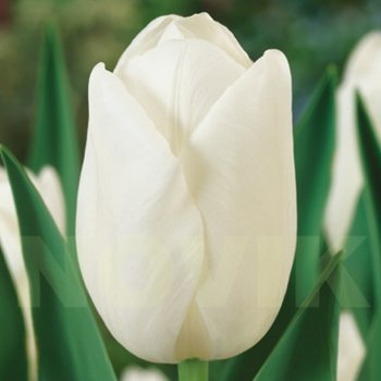 Тюльпан простой поздний Клиарвотер (5 шт)
