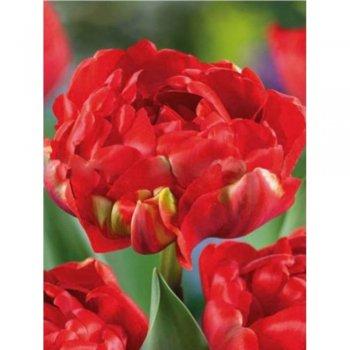 Тюльпан полный поздний Миранда (15 шт)
