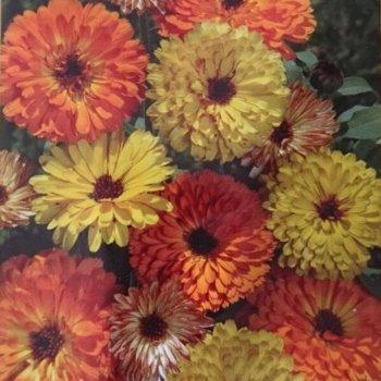Календула Дэжа Вю, смесь, семена цветов, Legutko, Польша.