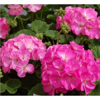 Пеларгония зональная Найт Роуз F1, фиолетово-розовая, семена цветов , 5 семян, Чехия Cerny