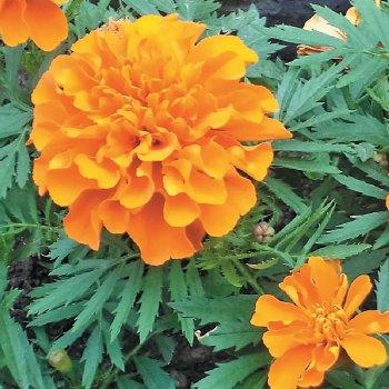 Бархатцы Мандарин, семена цветов, Legutko, Польша