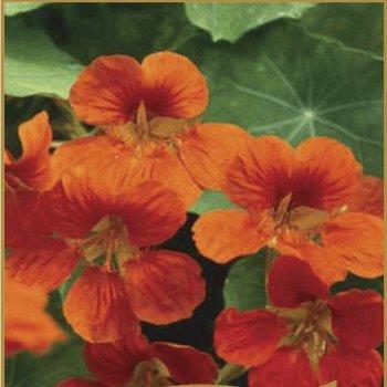 Настурция Большая «Индийский вождь», семена цветов, Legutko, Польша.