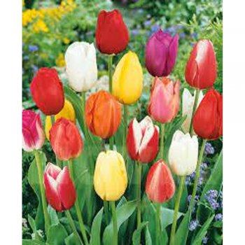 Тюльпаны триумф смесь (10 шт)