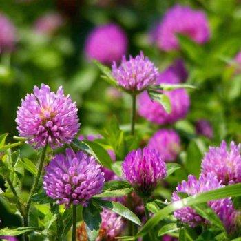 Газонная трава Клевер красный, семена, DLF Trifolium, Дания