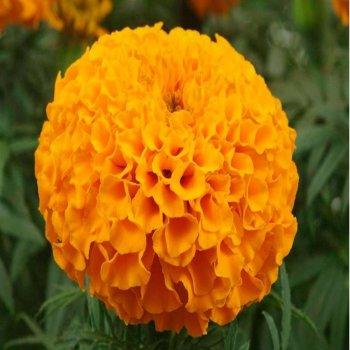 Бархатцы Дискавери оранжевые, семена цветов, Legutko, Польша