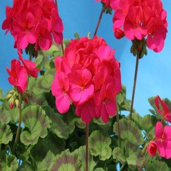 Пеларгония зональная красно-фиолетовая, семена цветов, Cerny, Чехия