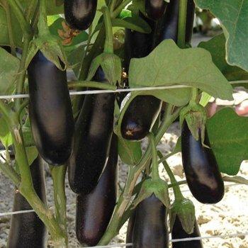 Семена баклажана Фабина, ранний, Clause, Франция