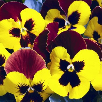 Виола Ред Винг, семена цветов, Legutko, Польша