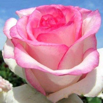 """Роза чайно-гибридная сорт """"Дольче Вита"""" розовая"""