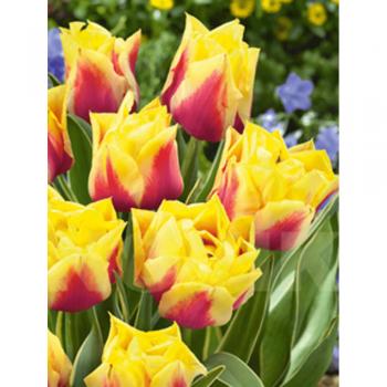Тюльпан полный, поздний Офелия (15 шт). Голландия