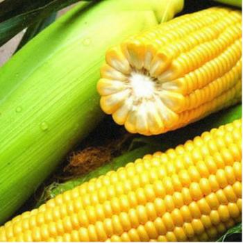 Кукуруза Бондюэлька F1 3071 100 000 семян