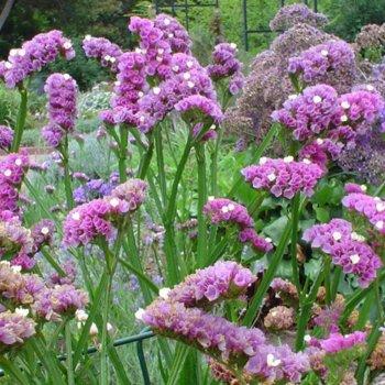 Кермек карминово-розовый, семена цветов, Legutko, Польша
