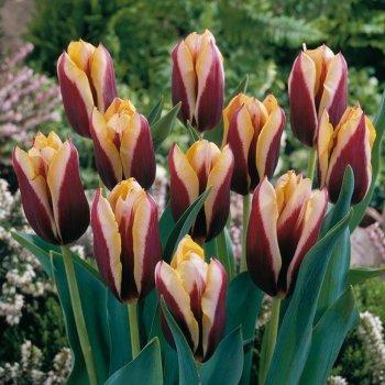 Тюльпан триумф Гавота (5 шт)