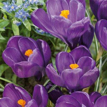 Крокус весенний Флауер Рекорд (5 шт.)