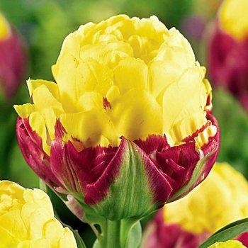Тюльпан полный, поздний Айс Крим Банана (5 шт.)