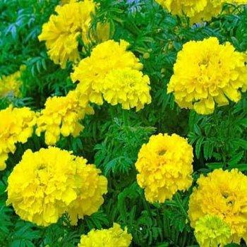 Бархатцы Желтый малыш, семена цветов, Legutko, Польша