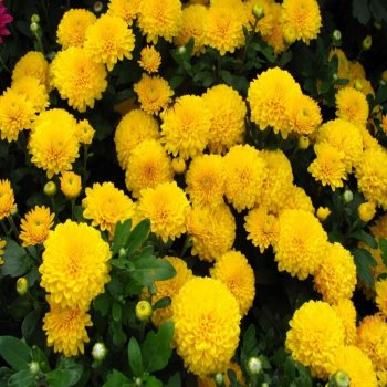 Хризантема Золотой шар, семена цветов, Legutko, Польша.