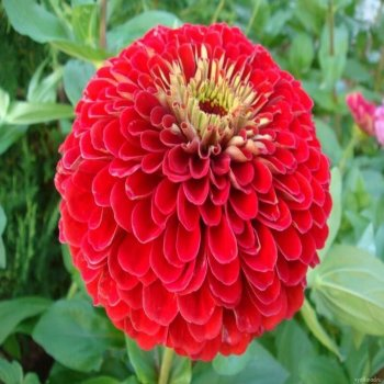 Цинния Лилипутик красная, семена цветов, Legutko, Польша