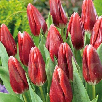 Тюльпан триумф Вампайр (15 шт)