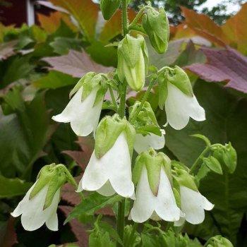 Симфиандра повислая, семена цветов, Legutko, Польша