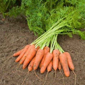 Морковь Карини, Bejo Zaden, Голландия 20 грамм