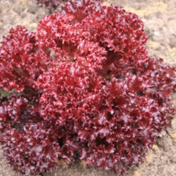 Салат листовой красный Ред Корал, ранний, Legutko, Польша