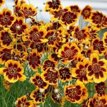 Космидиум Филиппинский, семена цветов, Legutko, Польша