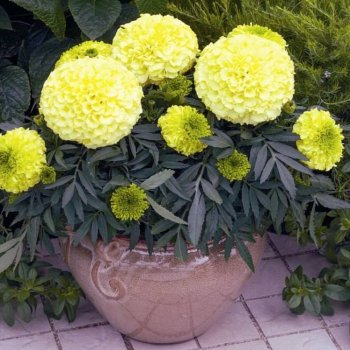 Бархатцы Антигуа кремово-желтые, семена цветов, Cerny, Чехия