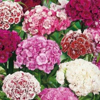Гвоздика турецкая супермахровая, смесь,  семена цветов, Legutko, Польша.