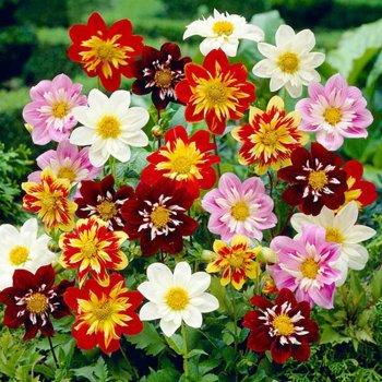 Георгина Денди, смесь, семена цветов, Legutko, Польша.