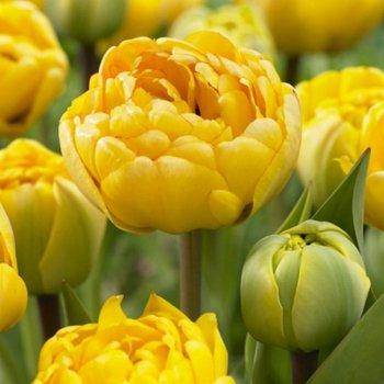 Тюльпан полный, поздний Елоу Помпенет (15 шт)