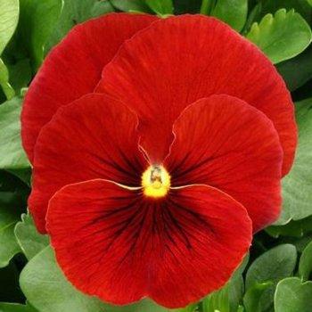 Виола Скарлет, семена цветов, Legutko, Польша