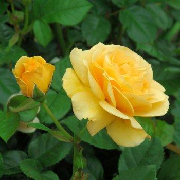 """Роза чайно-гибридная сорт """"Беролина"""" желтая"""