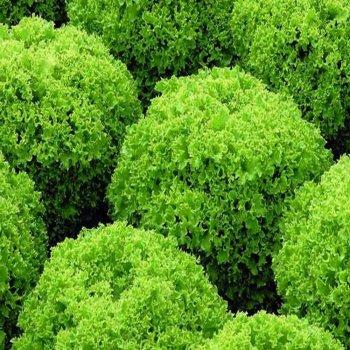 Салат листовой зеленый, Локарно, ранний,  Rijk Zwaan, Голландия