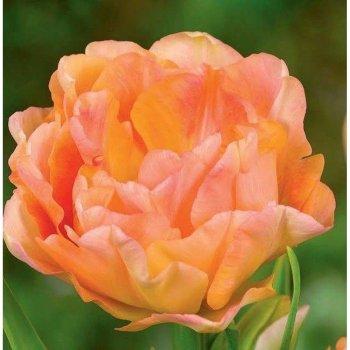 """Тюльпан """"Чарминг Бьюти"""" 25 шт."""