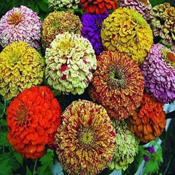Цинния Меланж, смесь, семена цветов, Legutko, Польша