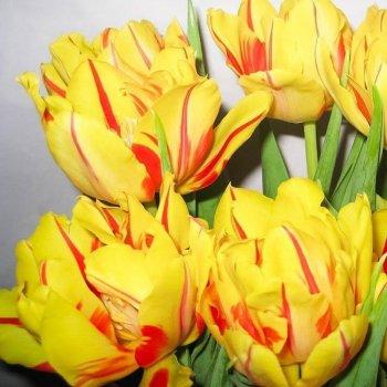 """Тюльпан ранний, махровый, двухцветный """"Монселла"""" 50 шт."""