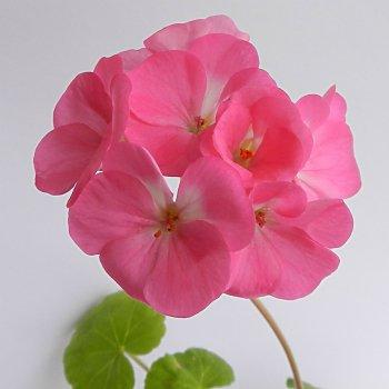 Пеларгония Павла F1, зональная, семена цветов, 5 семян Cerny, Чехия