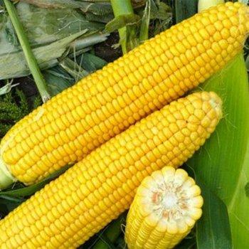 Кукуруза сахарная Харди F1, Hazera Seeds, Голландия