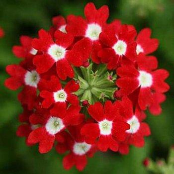 Вербена Спаркл, семена цветв, Legutko, Польша