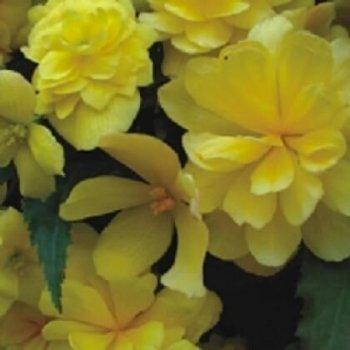 Бегония Шансон желтая, семена цветов, Legutko, Польша