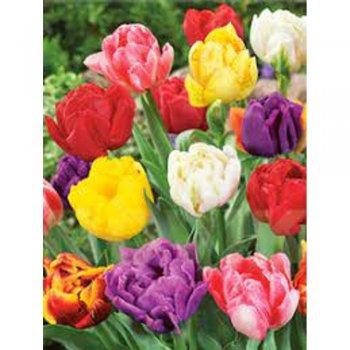 Тюльпаны полные поздние смесь (10 шт)