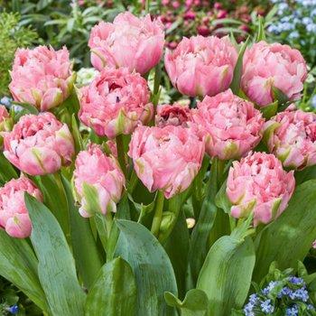 Тюльпан бахромчатый Шугар Кристал (5 шт.)