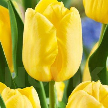 Тюльпан триумф Авокадо (5 шт)