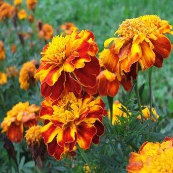 Бархатцы Фиеста, семена цветов, Legutko, Польша