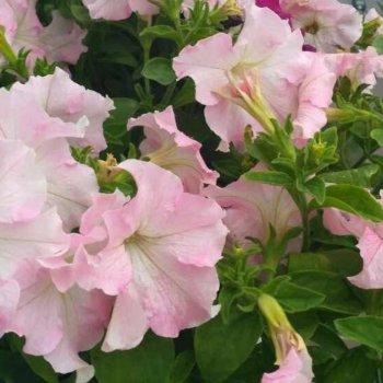 Петуния Мистрал Перли, семена цветов, Cerny, Чехия