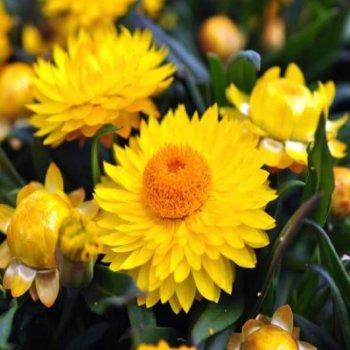 Бессмертник лимонно-желтый, семена цветов, Legutko, Польша