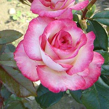 """Роза плетистая сорт """"Хендель"""" белая с розовой каймой"""