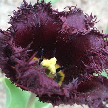 """Тюльпаны """"Черная коллекция"""" 5 видов по 50 шт."""