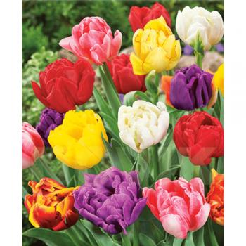 Тюльпаны полные, поздние, смесь 25 шт.
